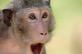 Monkey Tool Tracking Surprise